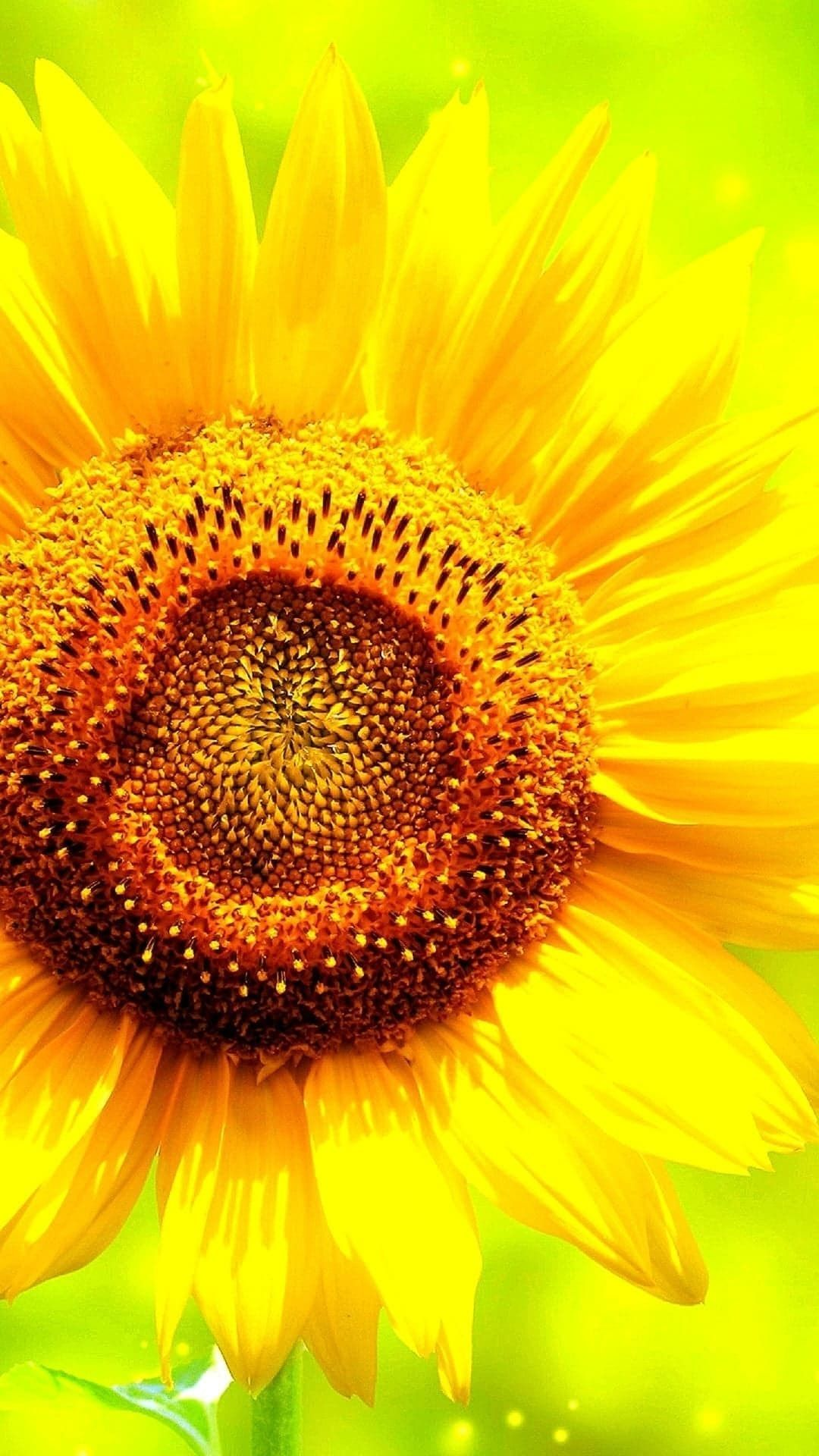 Sunflower Hd Wallpapers For Mobile Phone Sunflower Hd Wallpapers For Mobile Phon In 2020 Wallpapers For Mobile Phones Mobile Wallpaper Hd Wallpapers For Mobile