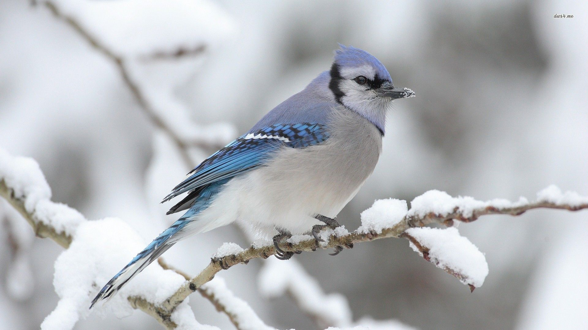 Winter Animal Wallpapers For Android Animals Beautiful Pet Birds Pretty Birds