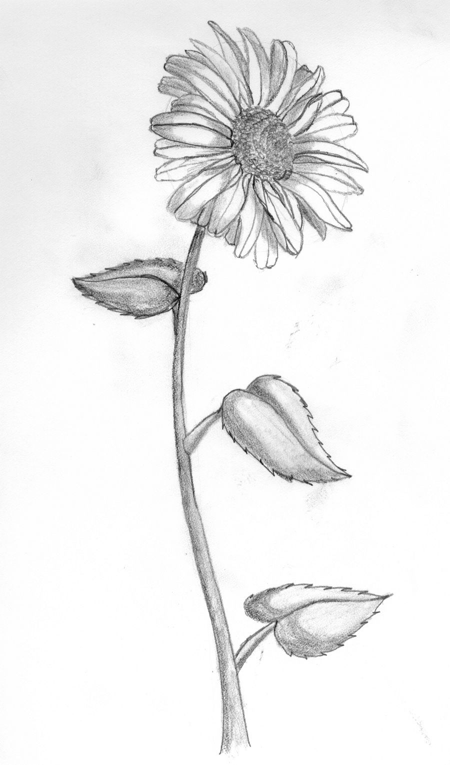 Daisy Flower Line Drawing : Daisy flower drawing google søk nice pinterest tattoo