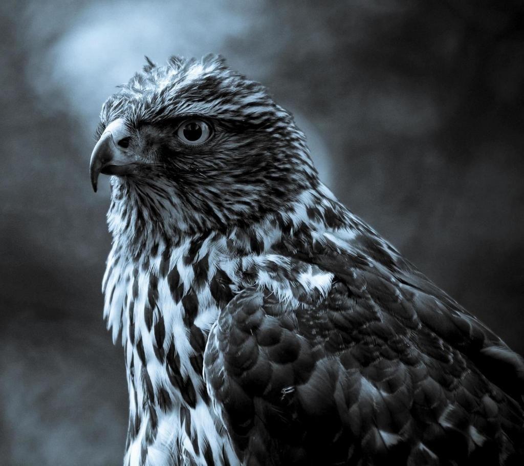 Chloe On Twitter Eagle Wallpaper Animal Wallpaper Wild Animal Wallpaper