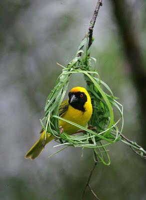Nature Photographs Nest Swing Birds Nature Birds Beautiful Birds