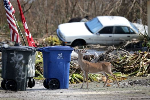 Deer Seeks Meal In Irma S Leftovers 77 Pieces Photos Of The