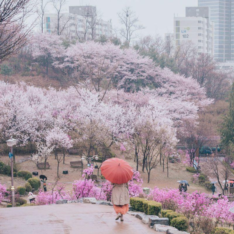 Cherry Blossoms Korea 2021 A Forecast Guide Where To Go Spring Season Nature Cherry Blossom Kyoto Japan Travel