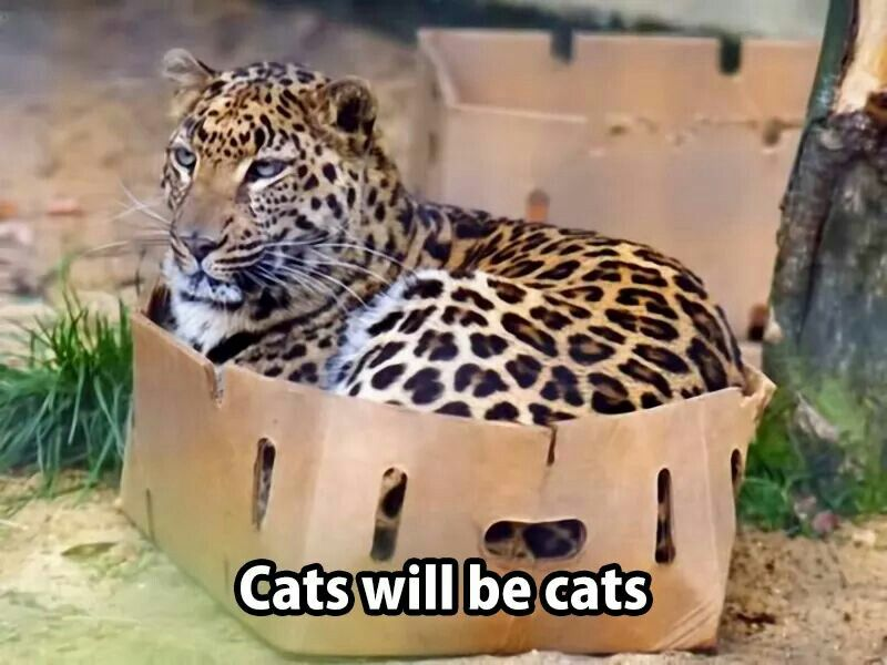 Even big cats love boxes!