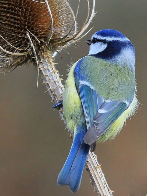 Image result for blue tit bird pinterest