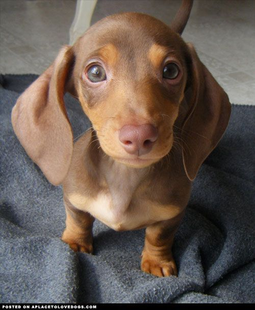 This Sweet Guy Is A 10 Week Old Doxie Puppy Named Gizmo A Cute