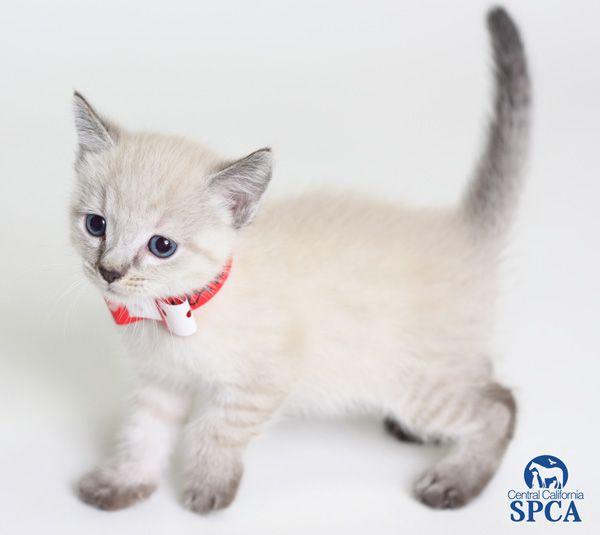 Hershey Id 22940126 Is A 6 Week Old Female Grey And White Siamese Blend Siamese Grey And White Grey