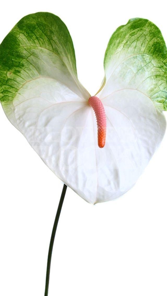 Anthurium Simba Flores De Frutas Melhores Flores Jardinagem E Decoracao