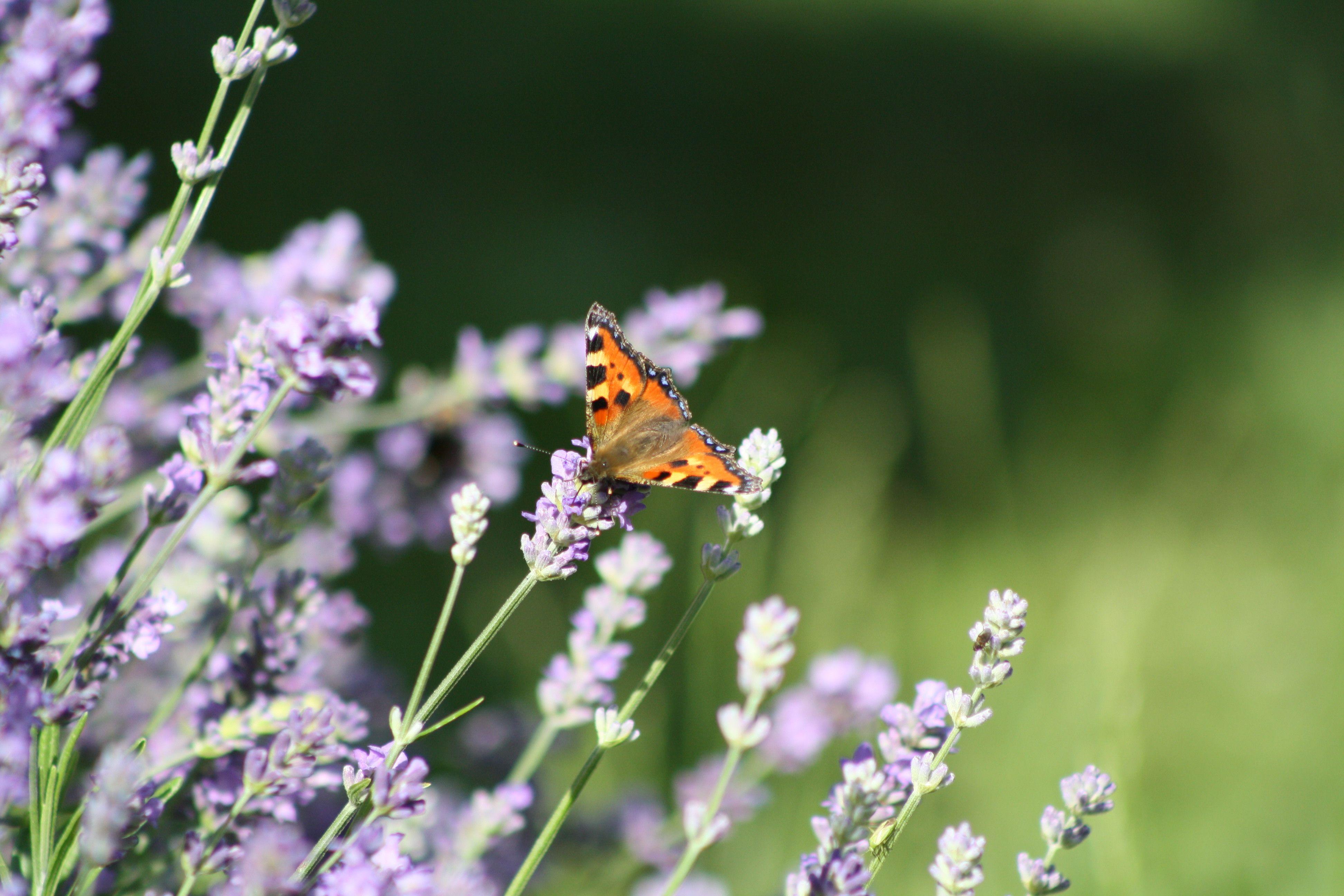 Bufferfly amongst lavender