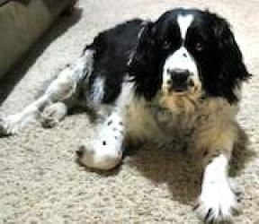 Adopt Josie on Springer spaniel, Pet id, Spaniel dog