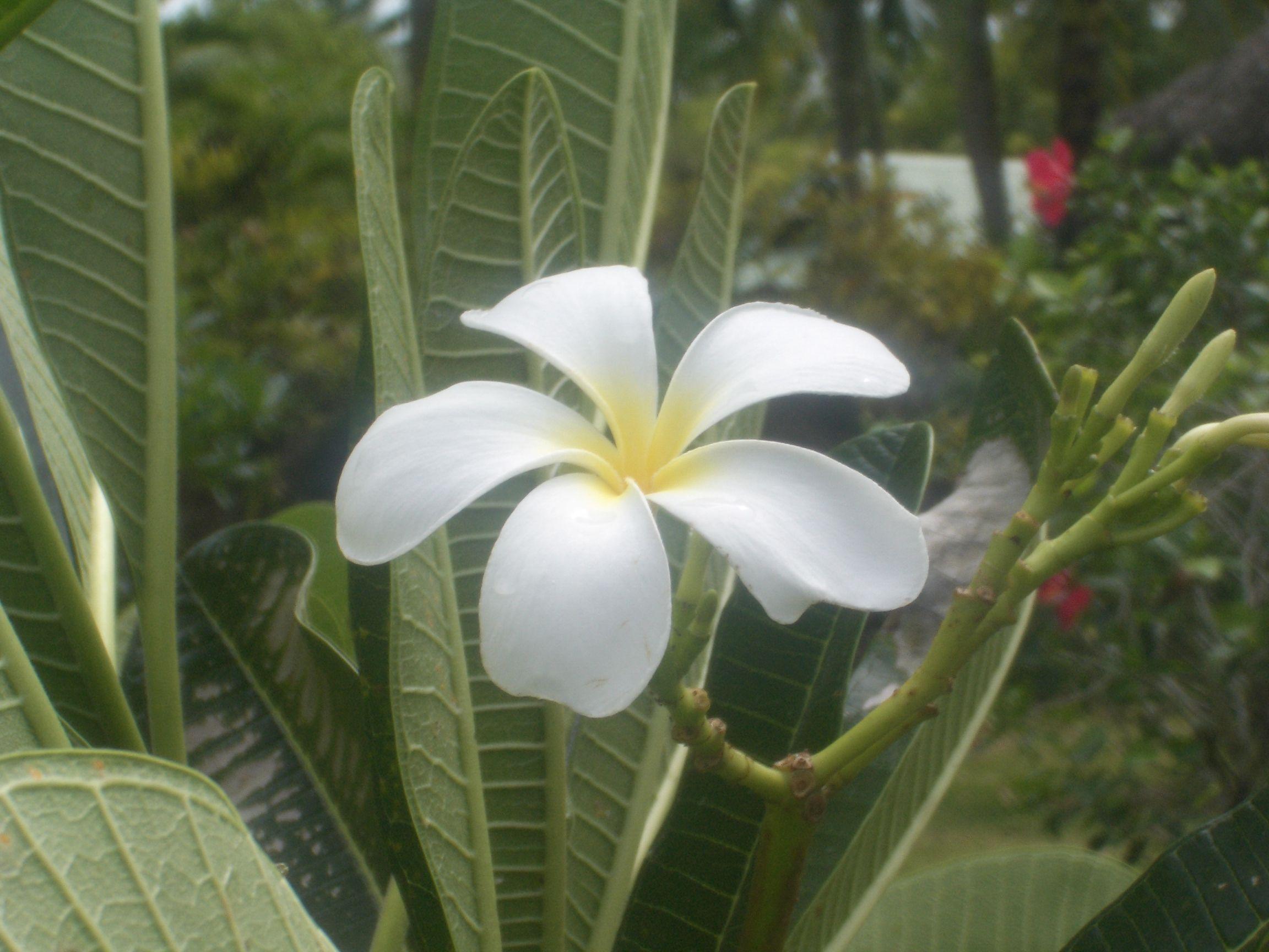 Tiare flower moorea french polynesia flowers pinterest tiare flower moorea french polynesia mightylinksfo