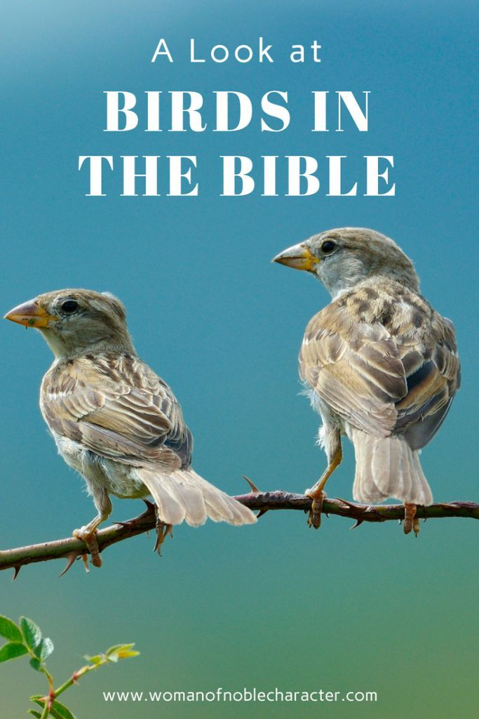 Birds In The Bible A Look At Doves And Sparrows In Scripture Bible