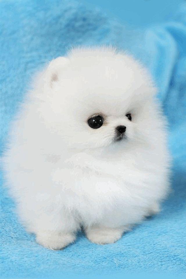 Pomeranian Wallpaper Hd Lifestyle Cute Animals Puppies Cute Fluffy Dogs Baby Animals Super Cute