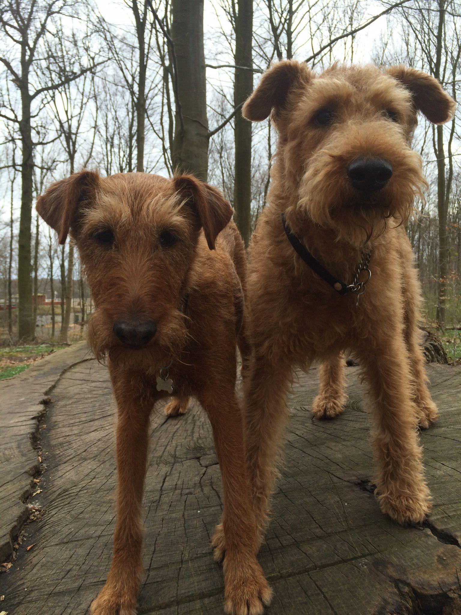 Pin By Declan Flattery On Irish Terrier Irish Terrier Lakeland