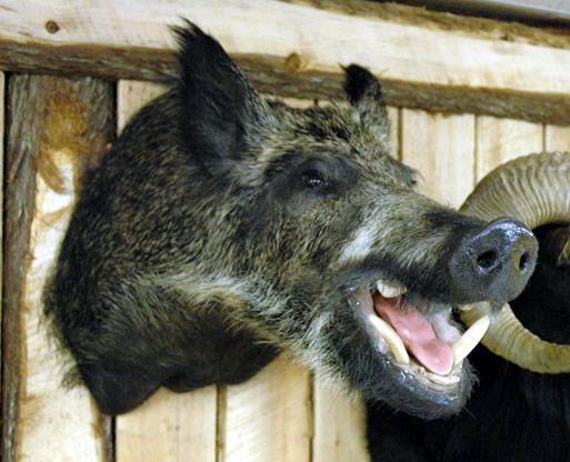 Wild Gray Boar Taxidermy In 2019 Taxidermy Taxidermy