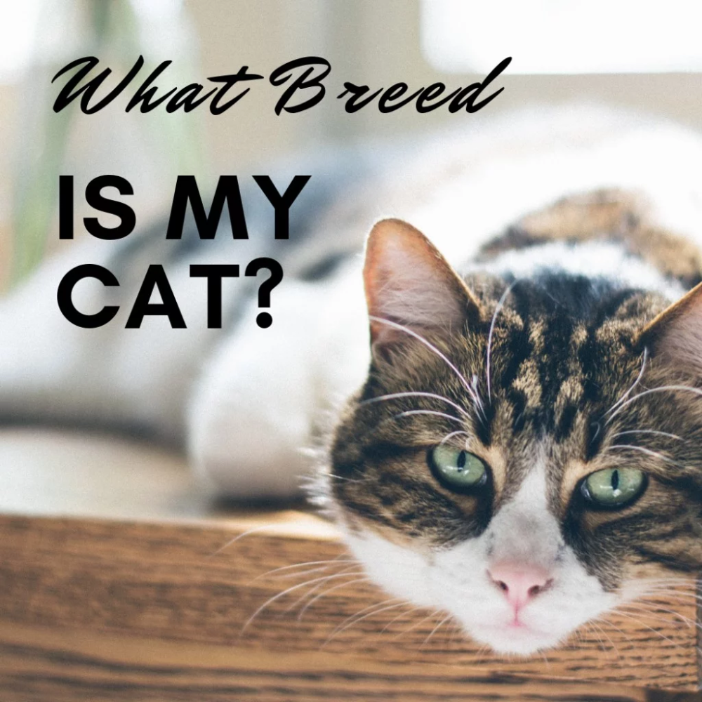 How To Determine Your Cat S Breed Identify Mixed Breeds And Purebreds In 2020 Cat Breeds Kitten Breeds Cats