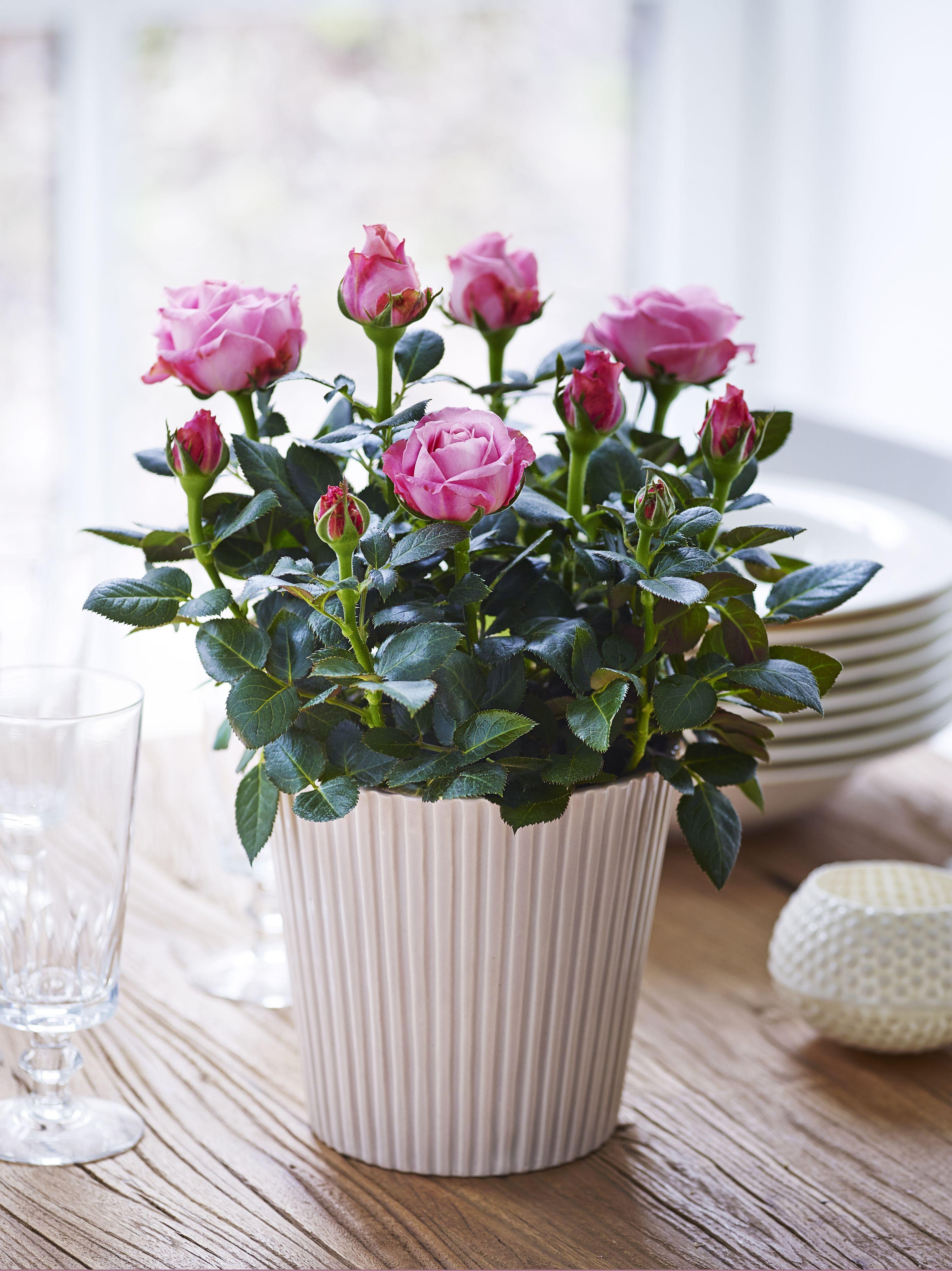Роз саратов, заказать живые цветы на домашних условиях