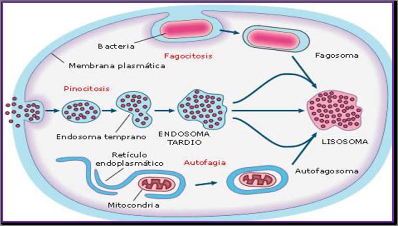 Resultado de imaxes para Lisosomas