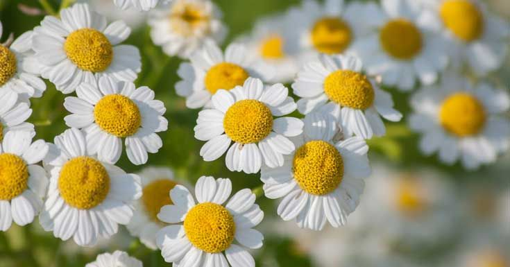 Image result for feverfew flowers with bee and butterfly Pinterest