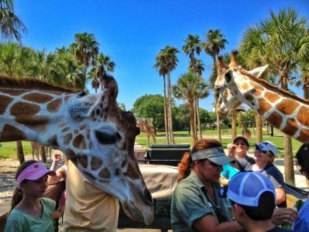 A Blogger 39 S View Of Hand Feeding Giraffes On A Serengeti Safari At Busch Gardens Tampa Bay