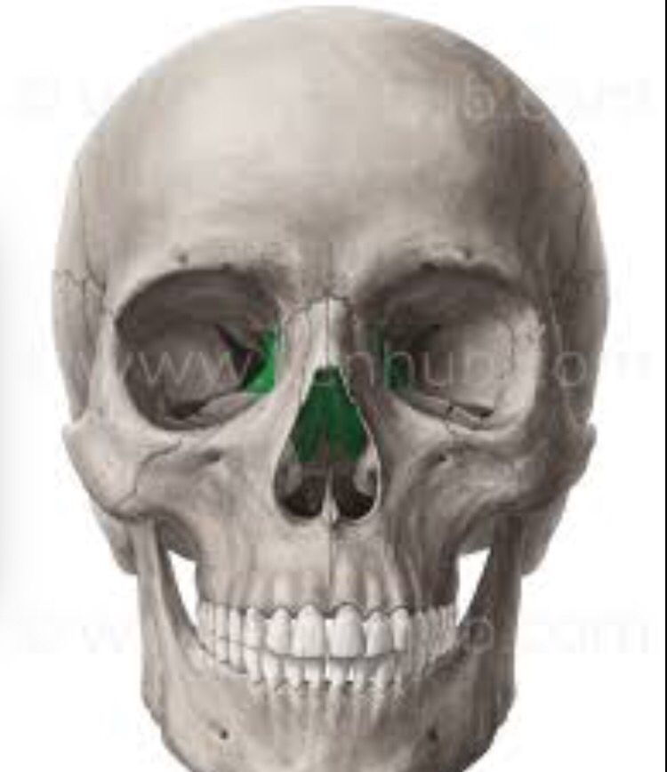 ethmoid bone : most deep of the skull . lies between sphenoid and, Human Body