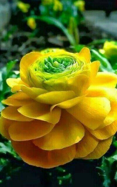 Fiori Gialli Rari.Rarest Flower Exoticflowers Fiori Tropicali Fiori Rari Fiori