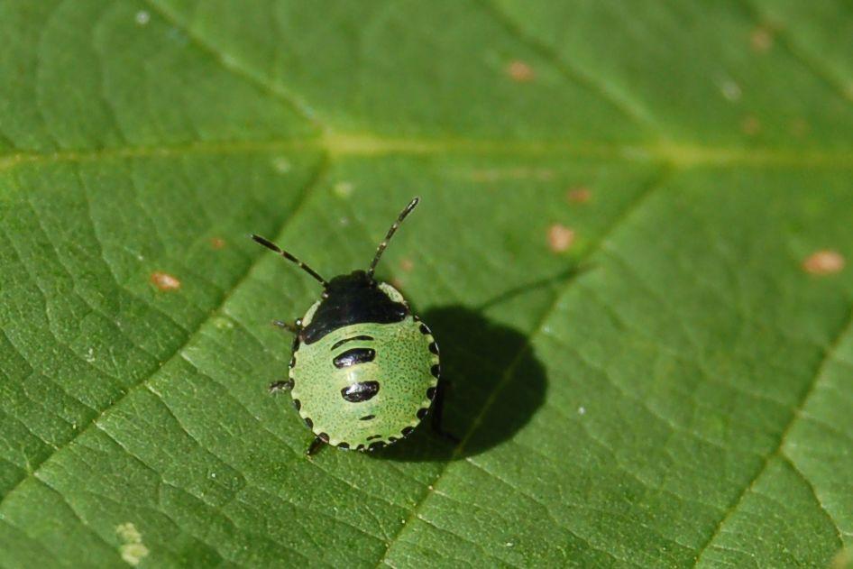 Common Green Shield bug - Palomena prasina, 2nd instar on Bramble leaf. August 2012