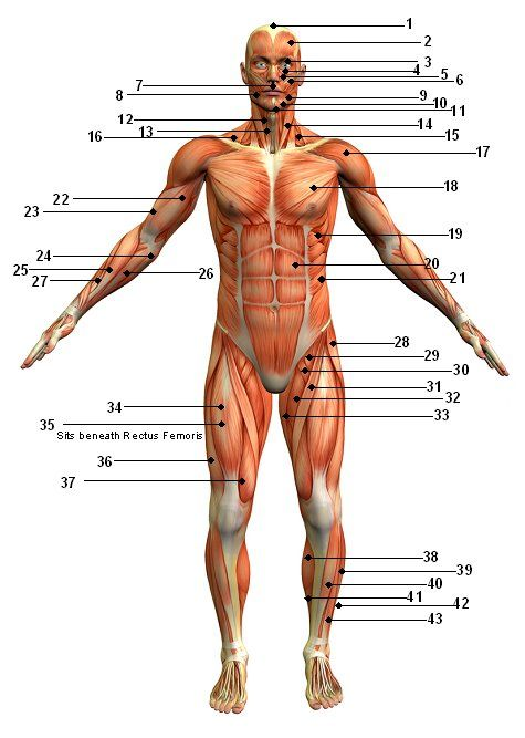 and here we have a diagram showing all the places i hurt today, Muscles