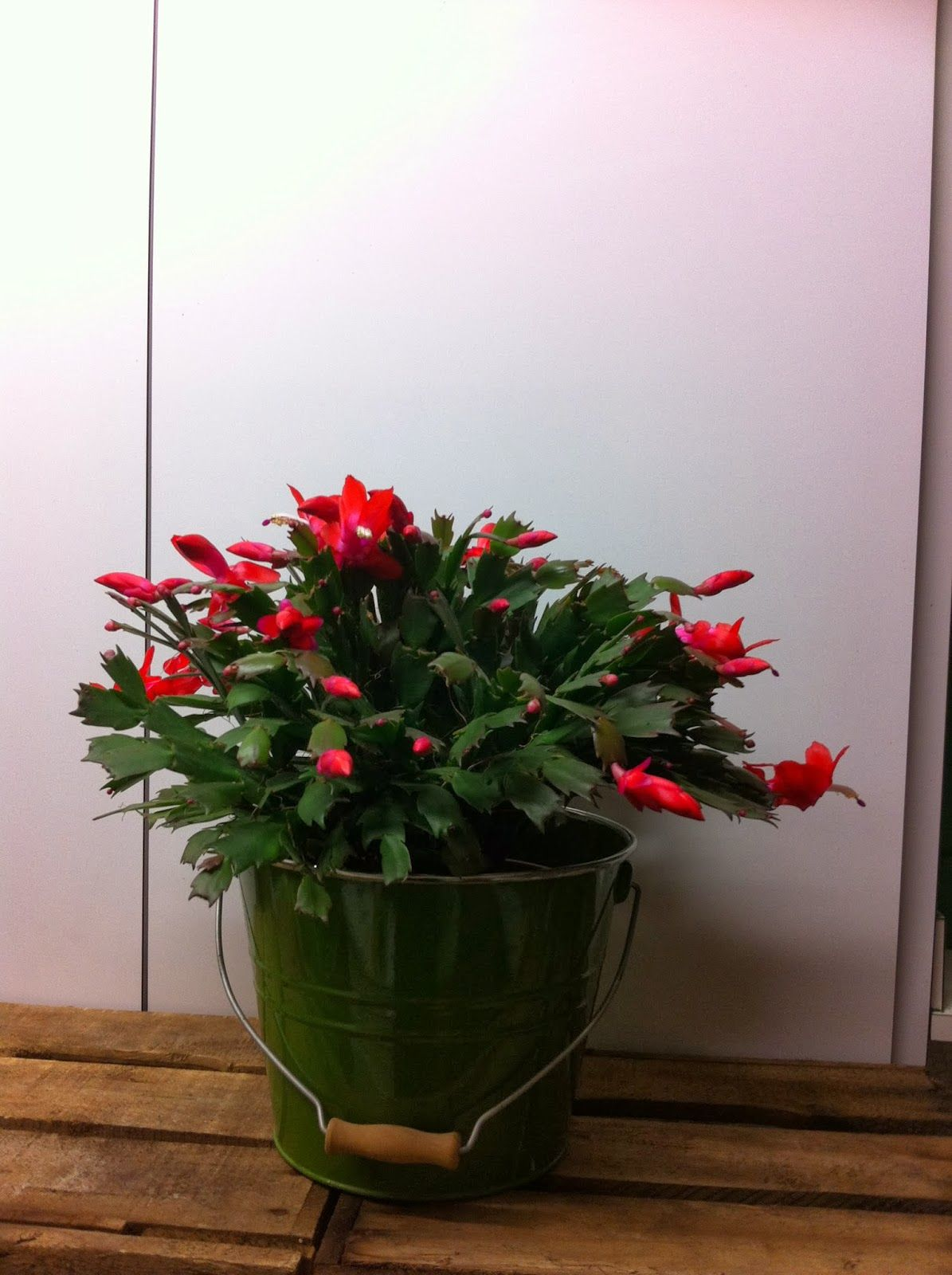 Le Cactus De Noel Ou Schlumbergera Ou Epiphyllum By Em Origine