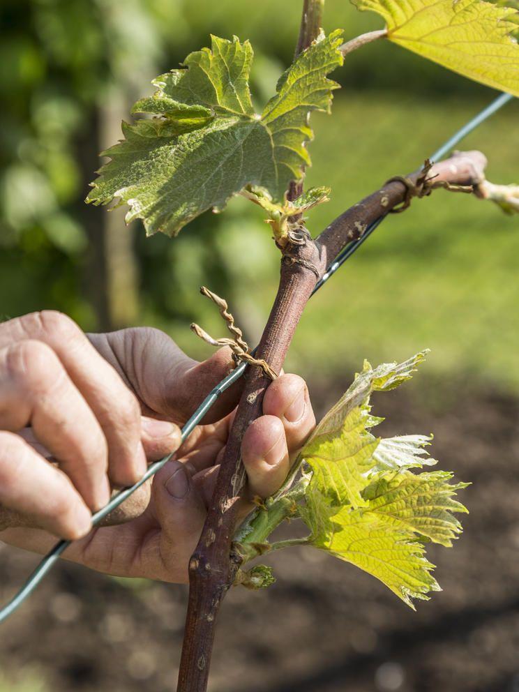 Weinreben Pflanzen Darauf Kommt Es An Weinreben Pflanzen Weinrebe Weinpflanze