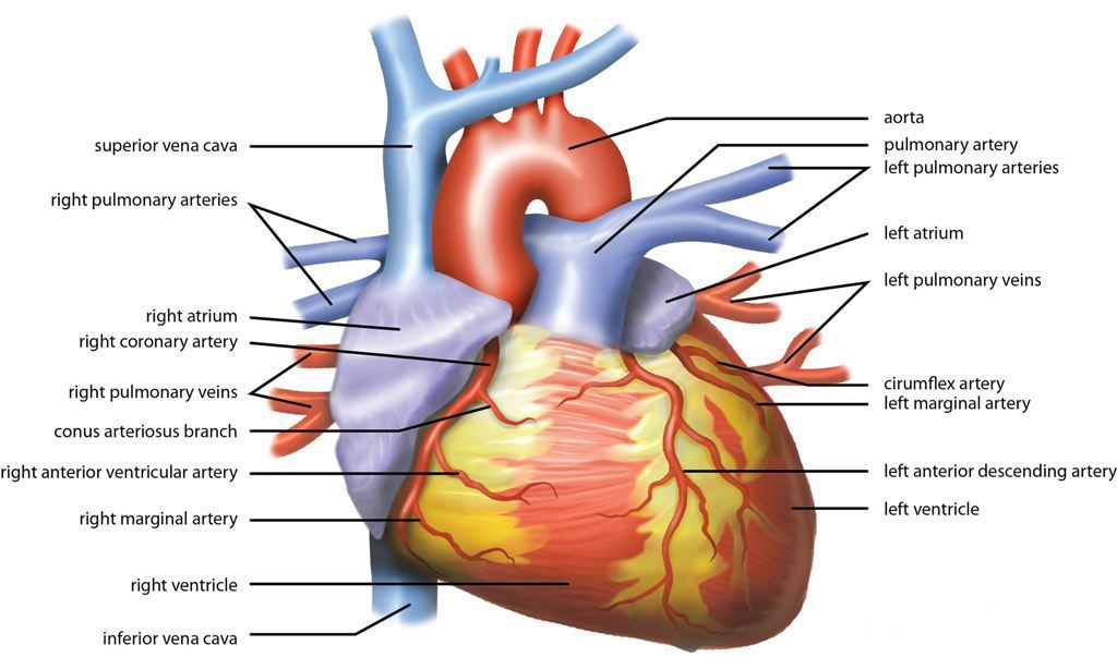 Heart - Wikipedia, the free encyclopedia | Vision board | Pinterest