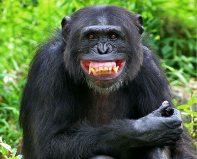 expressions just like us. This chimp is smiling about something