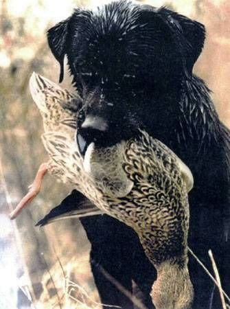 How To Train A Duck Dog Hunting Dogs Dog Training Training