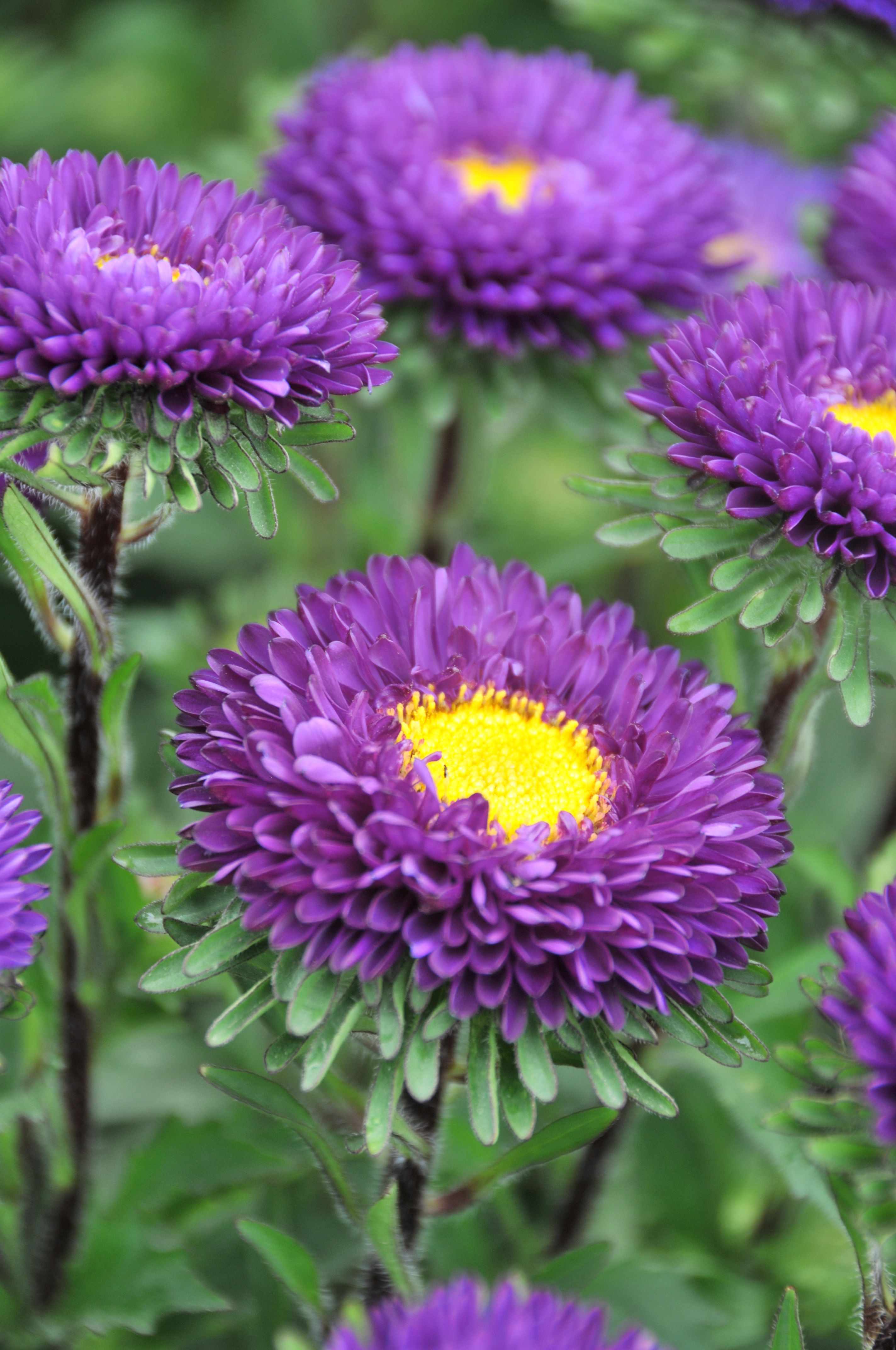 Purple Matsumoto Asters Aster Flower Purple Flowers Flora Flowers