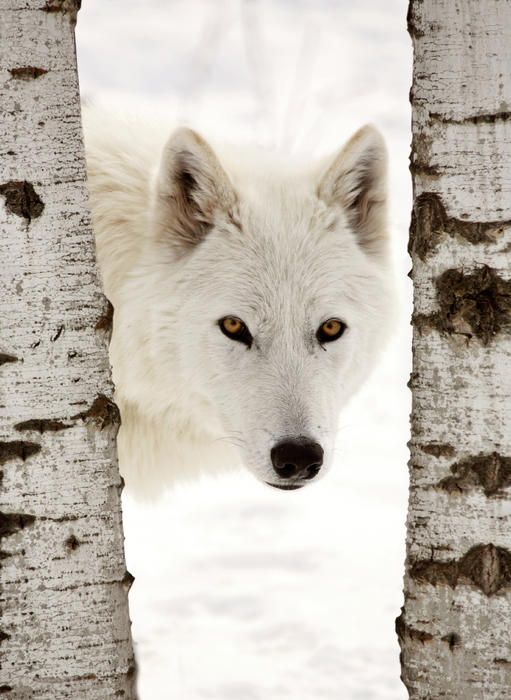 Google Image Result for http://images.fineartamerica.com/images-medium/arctic-wolf-seen-between-two-trees-in-winter-mark-duffy.jpg