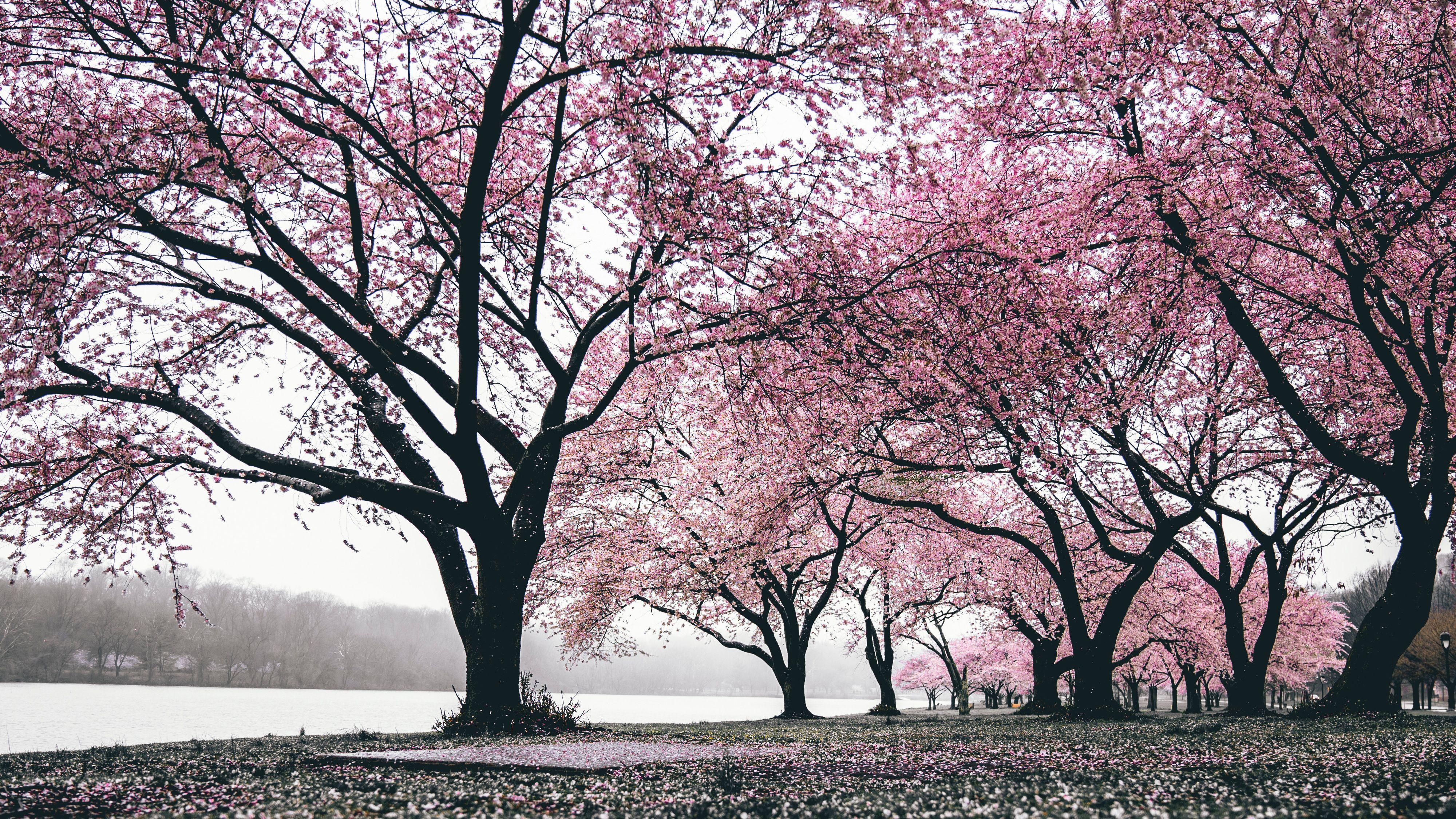 Wallpapers Flower Pink Cherry Blossom Sakura Haruno Spring Sakura Wallpapers Volcano Wallpaper Cherry Blossom Wallpaper
