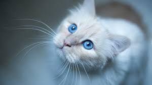 Znalezione Obrazy Dla Zapytania Tapety Na Pulpit Koty 3d Kitty