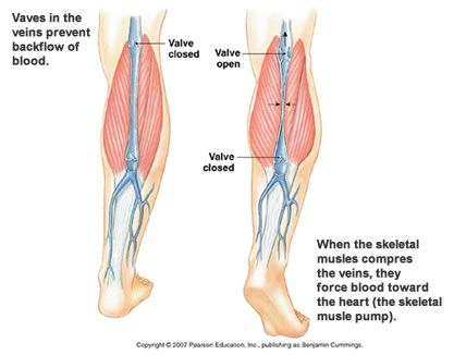 venous valves in great saphenous vein - Google Search | vascular ...
