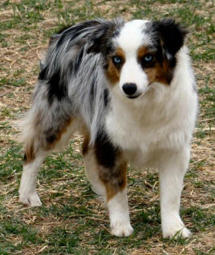 This Blue Eyed Blue Merle Female Toy Australian Shepherd Is