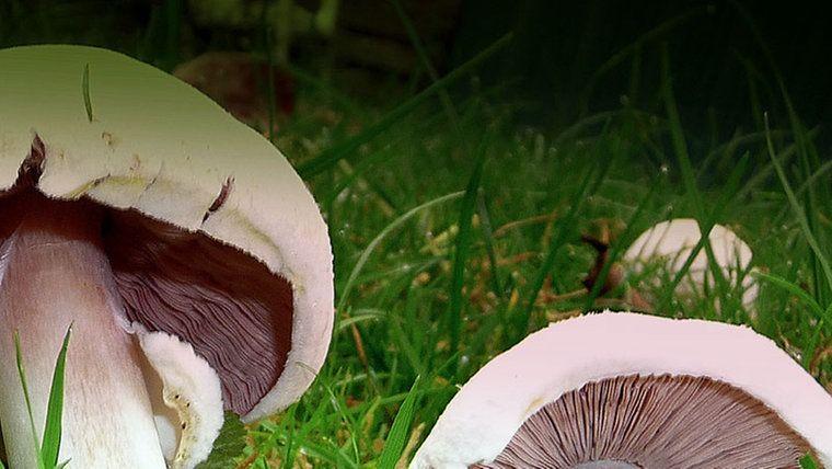 Essbare Pilze Sammeln Und Erkennen Essbare Pilze Pilze Sammeln Pilze