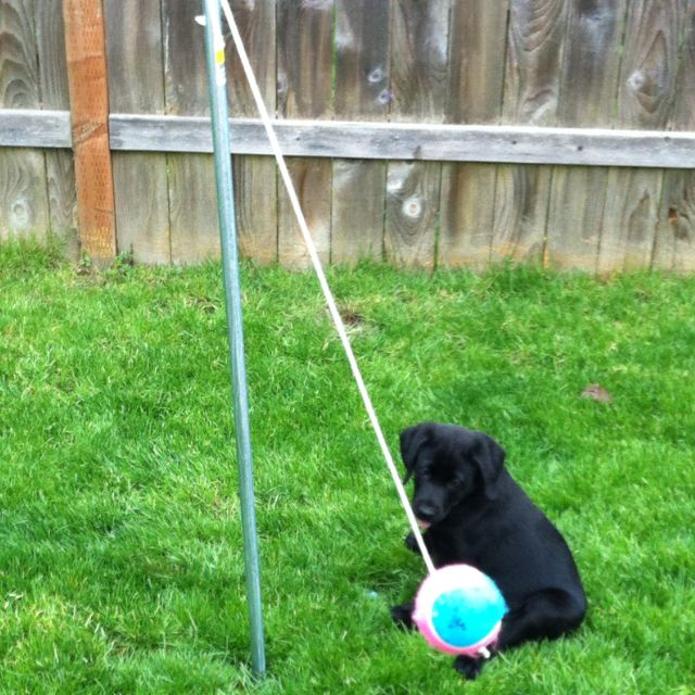 keep a hyper puppy busy homemade tetherball for under 20 just