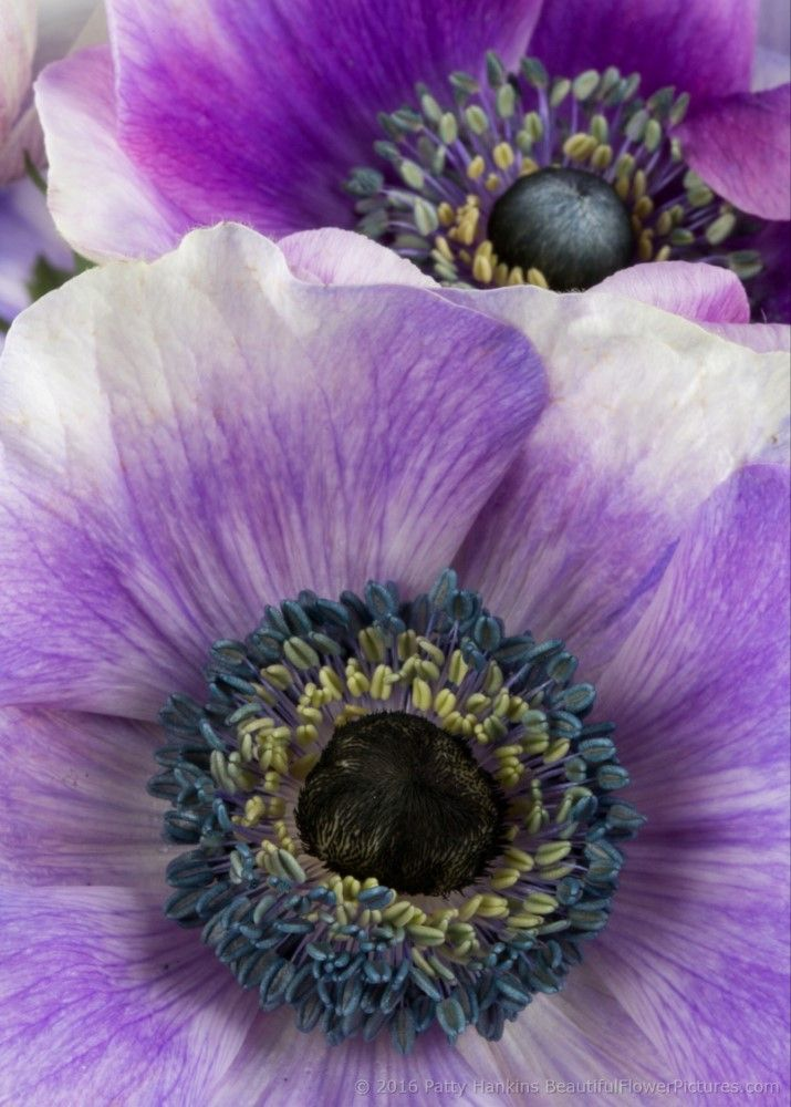 In The Studio Purple Poppy Anemone Flowers Flowers Photography Beautiful Purple Poppies Beautiful Flowers Pictures