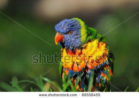 Rainbow Lorikeet, Swainsons Lorikeet (Trichoglossus haematodus) Allfarblori  Keilschwanzlori Gebirgslori - stock photo