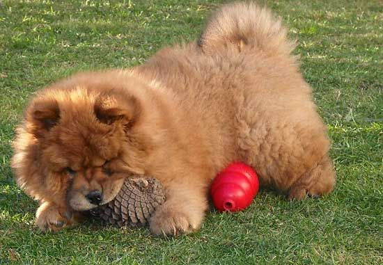 Alpha Chow Chows Like To Dominate Other Dogs A Chow Chow That Is