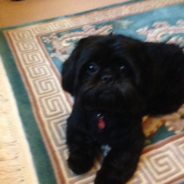 Beautiful Black Shih Tzu Shih Tzu Puppy Shih Tzu Puppies
