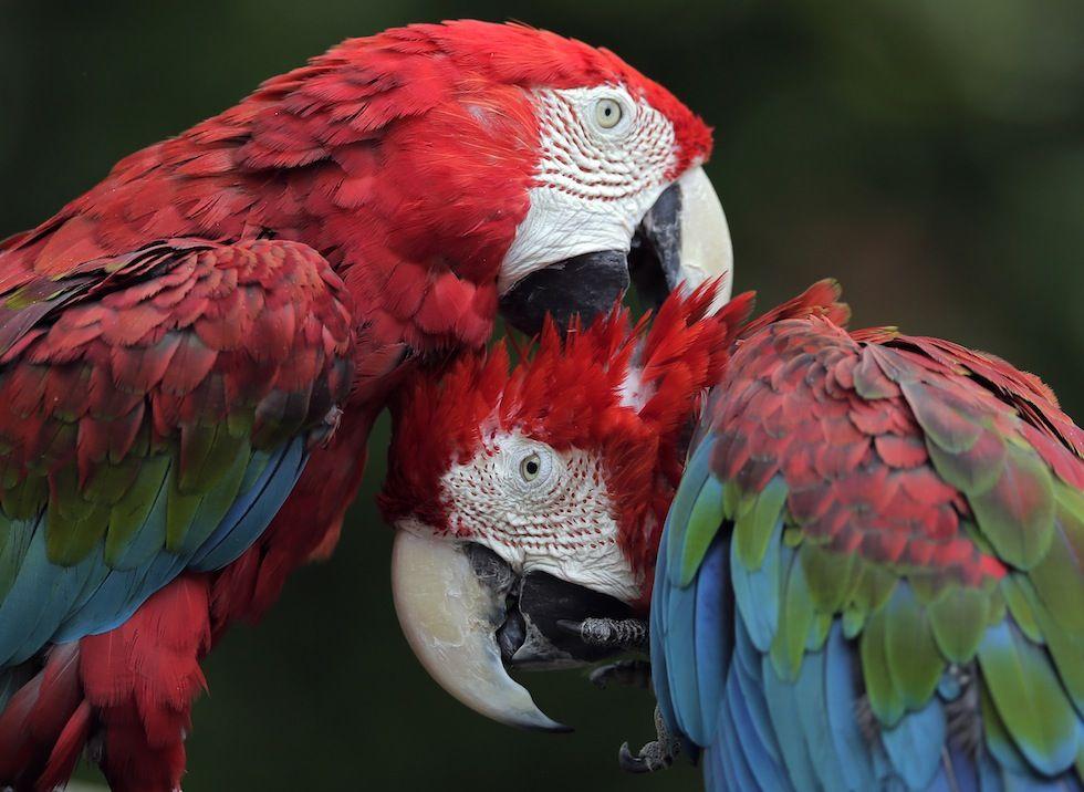 IlPost - Due pappagalli al parco zoologico di Chiba, in Giappone (AP Photo/Itsuo Inouye) - Due pappagalli al parco zoologico di Chiba, in Giappone (AP Photo/Itsuo Inouye)