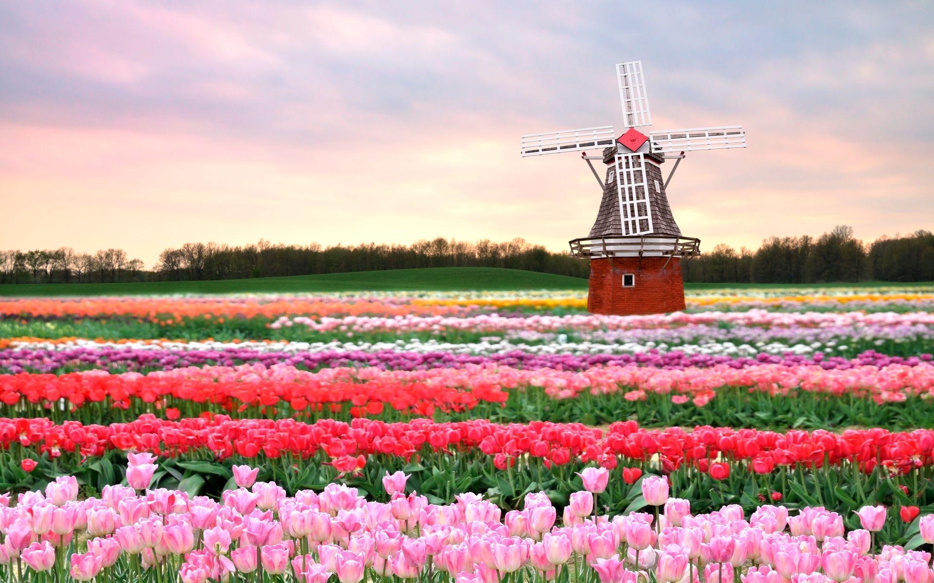 Field Tulips Mill Tulip Fields Netherlands Tulip Fields Pink Spring Flowers