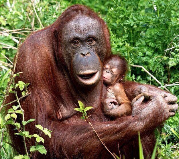 Orang U tang beauties | Cute baby animals, Animals beautiful, Baby orangutan
