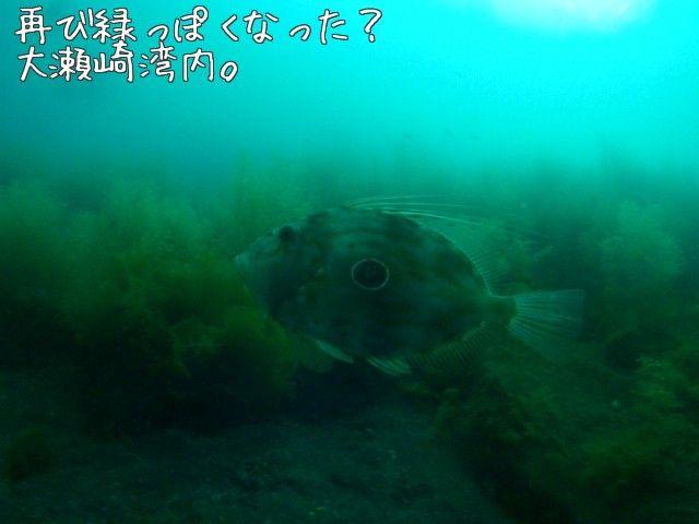 St. Peter's fish.   OOSEZAKI IZU Japan