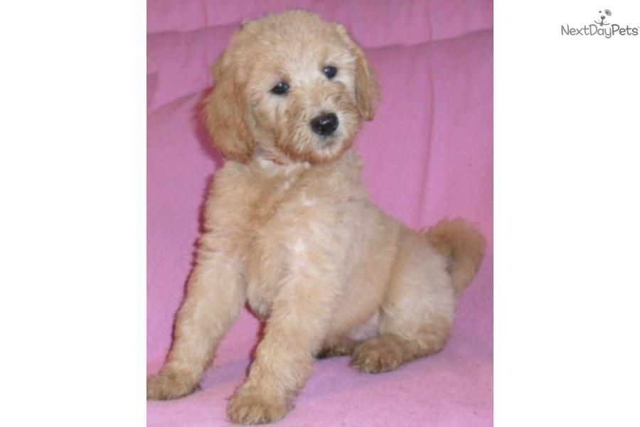 Chloe female labradoodle puppy for sale ohio